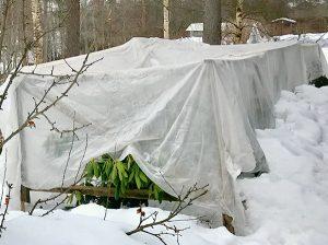 укрытие рододендронв на зиму фото