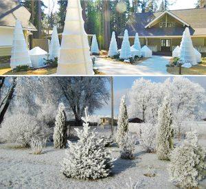 сорта туй и укрытие на зиму (фото)