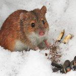 мышь полевка зимой фото