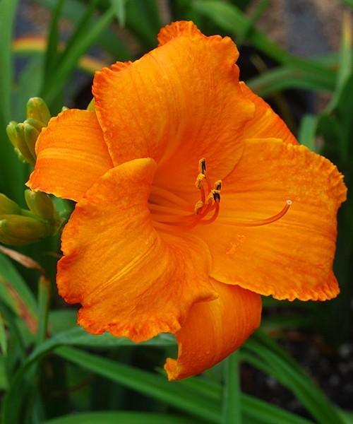 Hemerocallis My Reggae Tigger крупное фото цветка