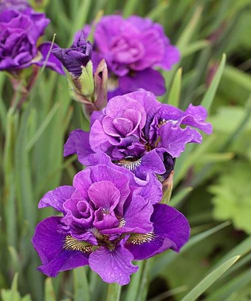 Iris sibirica Bundle of Joy фото цветущих растений