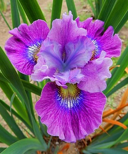 Iris sibirica Careless Sally фото цветка крупным планом
