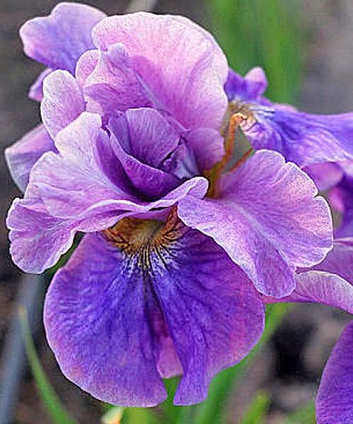 Iris sibirica Having Fun крупное фото цветка
