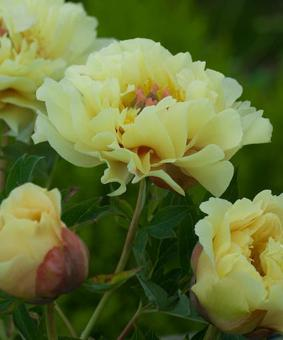 Paeonia ITOH 'Canary Brilliats'