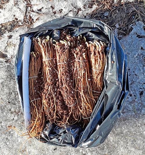 корни клематиса после успешной пересылки фото