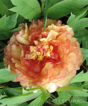 Paeonia ITOH 'Kopper Kettle'