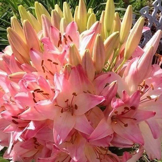 Что вырастет из луковицы лилии Марлен - фото