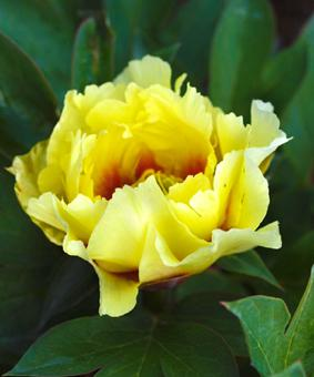 Paeonia ITOH 'Shining Lights'
