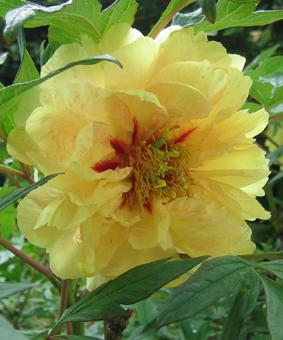 Paeonia ITOH 'Yellow Waterlily'