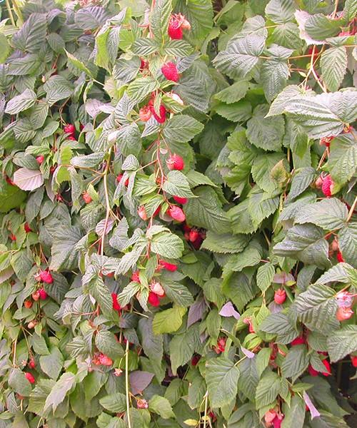 Малина Каскад Делайт фото куста с ягодами