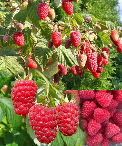 Малина Московская карамель фото куста, фото ягодной кисти, фото ягод