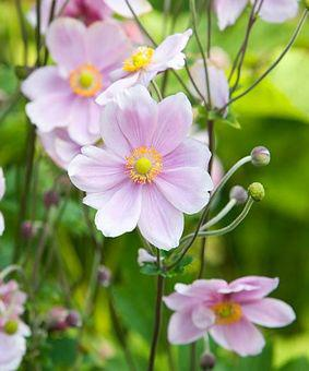 Anemone japonica 'Elegans'