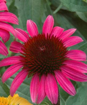 Echinacea 'After Midnight'