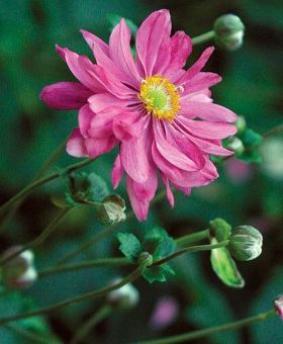 Anemone hupehensis 'Bressingham Glow'