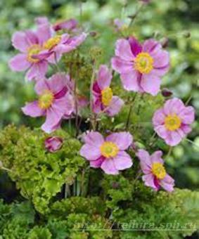 Anemone hupehensis 'Crispa' (syn 'Lady Gilmour')