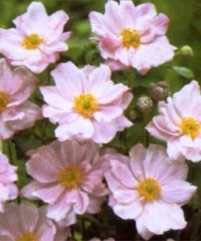Anemone hybride 'Lolerei'