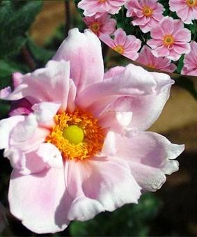 Anemone hybride 'Max Vogel'