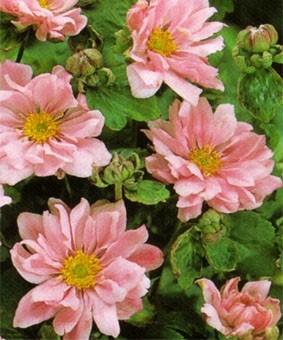 Anemone japonica 'Koninghin Charlotte'