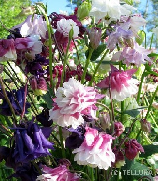 Aquilegia double mix