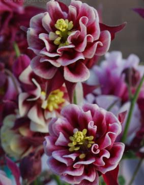 Aquilegia 'Winky Double Red and White'