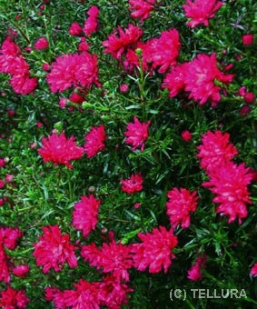 Aster novi-belgii 'Crimson Brocade'
