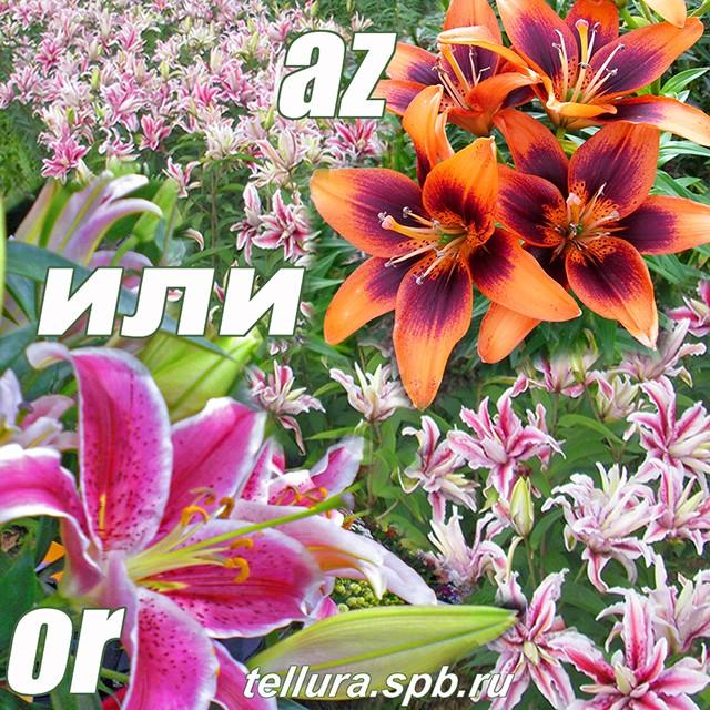 азиатские и восточные лилии
