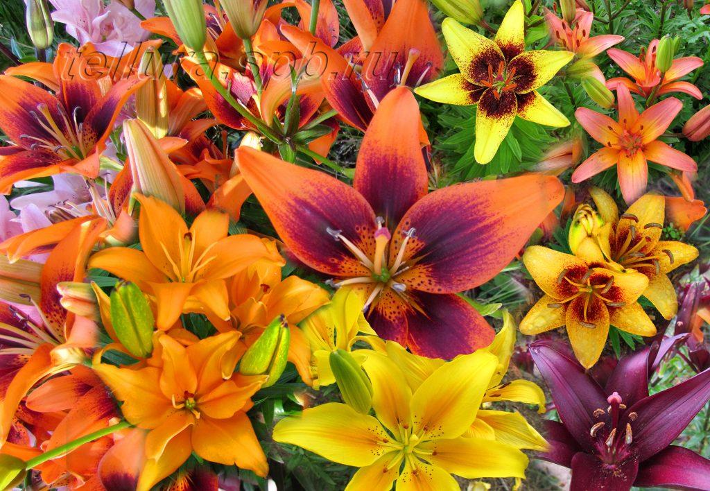 Расцветка азиатских лилий фото цветков