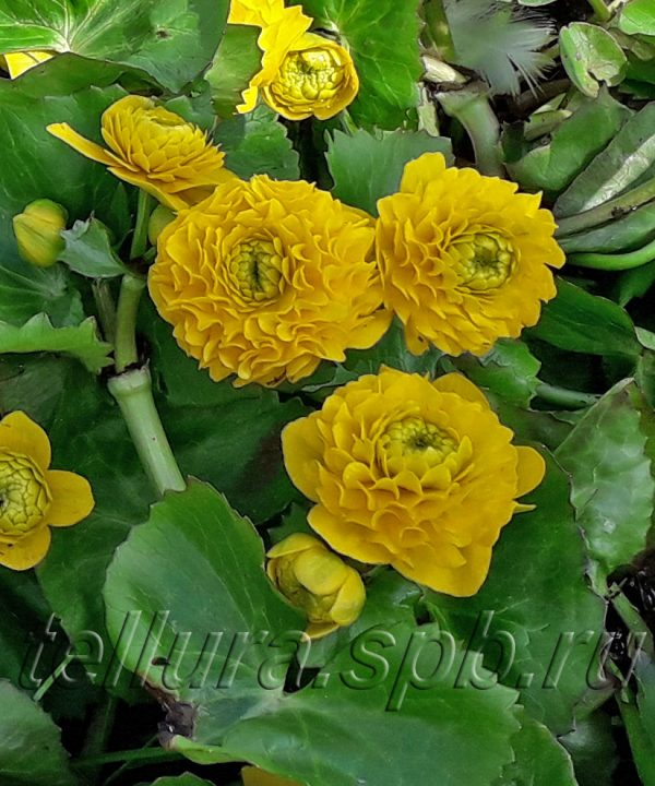 Калужница махровая Флоре Плено крупное фото цветов