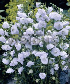 Campanula persicifolia 'La Bello'