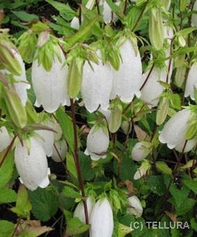 Campanula punctata 'White Bells'