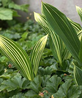 Convallaria majalis 'Variegata' ('Aureovariegata')