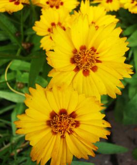 Coreopsis lanceolata 'Little Sundials'