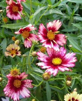 Coreopsis 'Red Shift'
