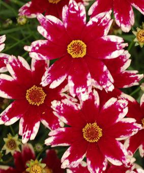 Coreopsis 'Ruby Frost'