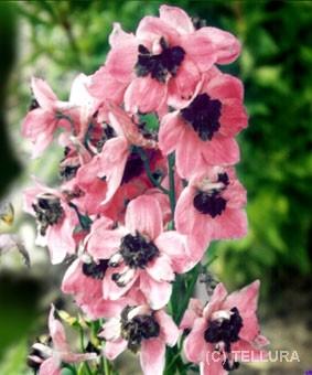 Delphinium elatum 'Ned Rose'