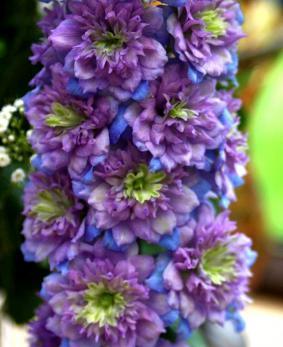 Delphinium elatum 'Highlander Blueberry Pie'