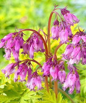 Dicentra formosa 'Spring Gold'