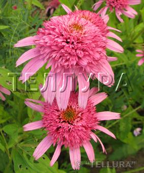 Echinacea 'Double Pink Delight'