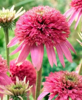Echinacea 'Cotton Candy'