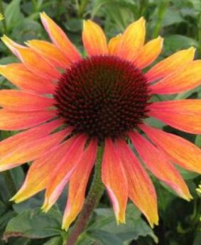 Echinacea 'Evening Glow'
