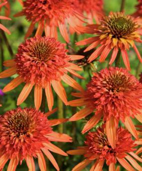 Echinacea 'Irrestible' NEW 2018