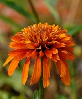 Echinacea 'Marmelade'