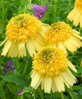 Echinacea 'Meteor Yellow'