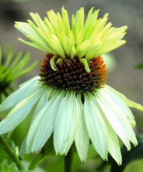 Echinacea 'Mount Hoode'