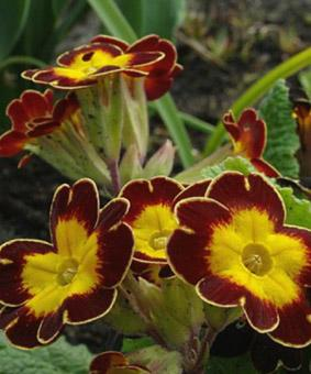 Primula elatior 'Gold Lace Dark Red'