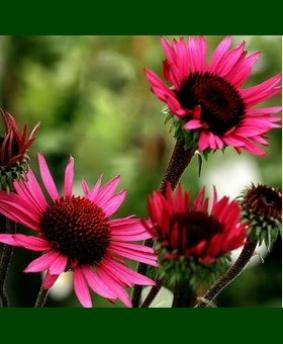 Echinacea 'Fatal Attraction'