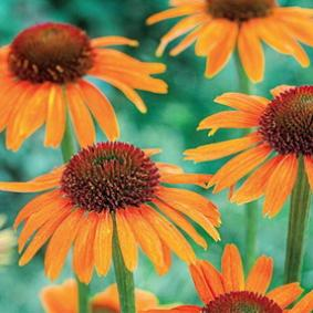 Echinacea 'Garden Emotion Bright Orange '