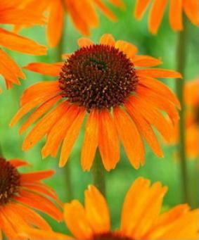 Echinacea 'Garden Emotion Orange'