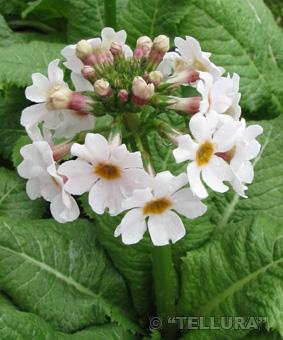 Primula japonica 'Appleblossom'