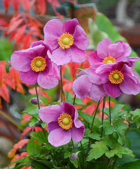 Anemone hupehensis 'Bowles Pink'